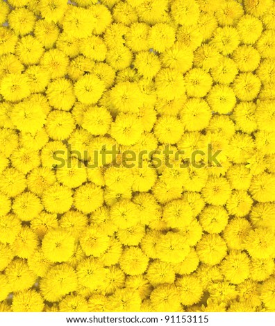 many yellow flowers for background - stock photo