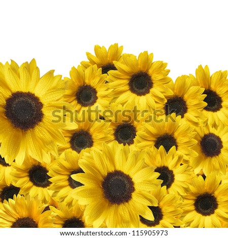many yellow sunflowers with drops - stock photo