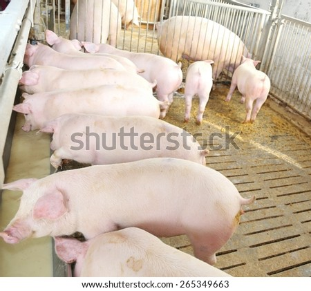 many young pink pigs in the sty of the farm - stock photo