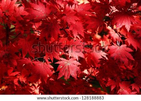 maple - stock photo