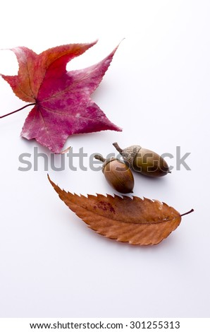 maple and an acorn - stock photo