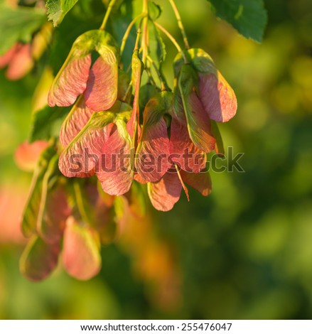 Maple foliage and winged fruit samara tree flowers . - stock photo