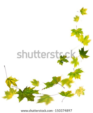 Maple green autumn falling leaves, isolated on white background. - stock photo