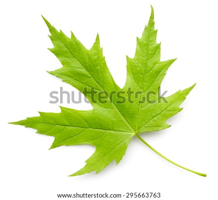 Maple green leaf isolated on white background - stock photo