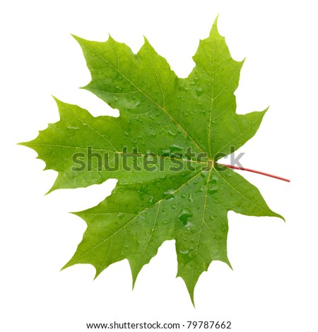 Maple green leaf with water drops isolated on white background - stock photo
