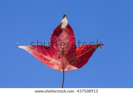 maple in hand on blue sky background - stock photo