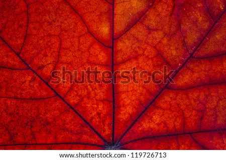 Maple leaf macro. - stock photo