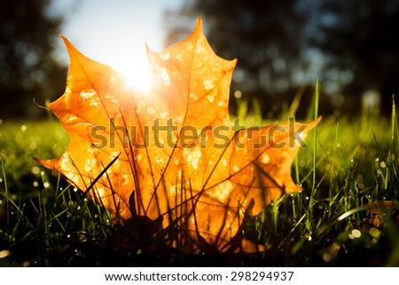 Maple leaf on grass illumited by sunrise light - stock photo