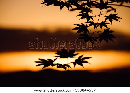 Maple leaf's silhouette shadow at sunset - stock photo