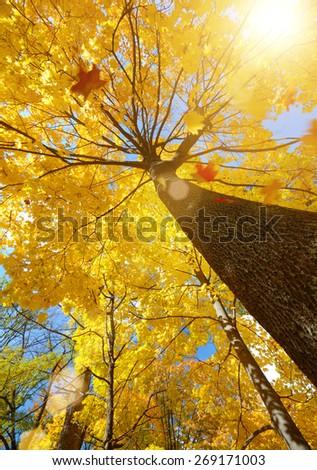 Maple leaves falling against sunlight - stock photo
