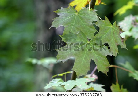 maple leaves in the forest - stock photo
