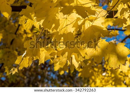 Maple leaves lit by the autumn sun/Yellow maple leaves/Golden autumn maple leaves - stock photo