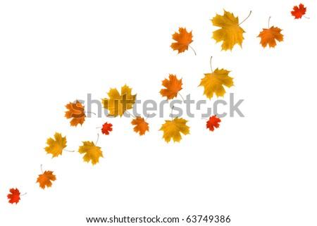Maple leaves on white background - stock photo