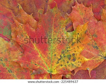 maple leaves with autumn colors - stock photo