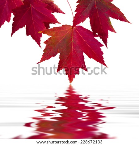 maple leaves with reflection in the water, background - stock photo
