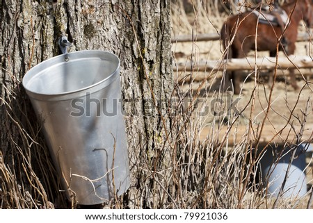 Maple Sap Bucket to harvest sap from maple trees to make maple syrup - stock photo
