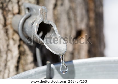 Maple sap dripping into bucket - Macro - Shallow depth of field - stock photo