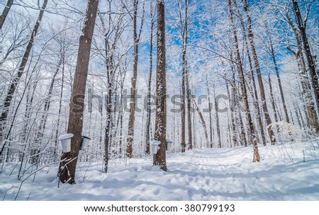 Maple syrup buckets on trees in an urban wooded sap gathering forest just after freshly fallen snow. - stock photo