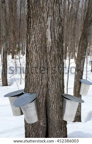 Maple syrup production, springtime. Pails for collecting maple sap. - stock photo