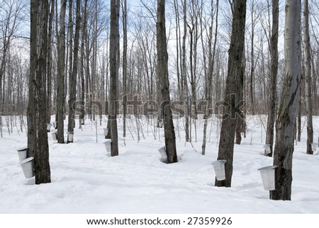 Maple syrup season in Quebec, Canada. Traditional way of collecting maple sap. - stock photo