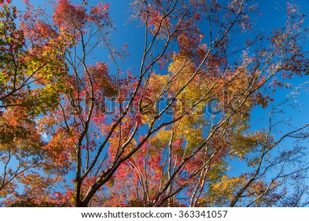 Maple tree in autumn, Japan - stock photo
