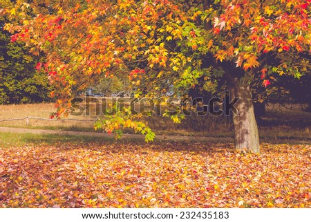 Maple Tree in Bright Fall Colors - stock photo