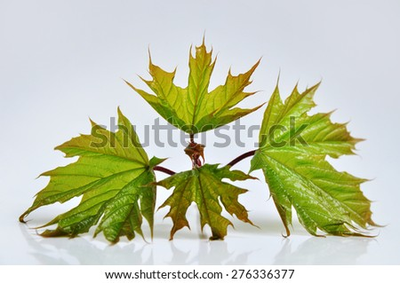 Maple tree leaves on white - stock photo