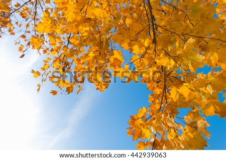 Maple tree with autumn-colored leaves in sunshine - view from bottom to top; Golden maple leaves against blue sky; Autumn atmosphere - stock photo