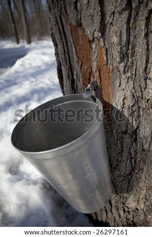maple tree with tap and bucket for harvesting sap (maple syrup production) - stock photo