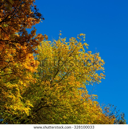 Maple tree with yellow and orange leaves and blue sky. - stock photo