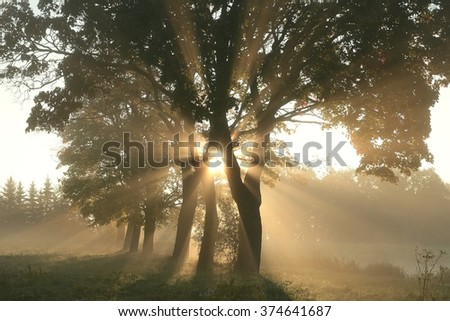 Maple trees illuminated by the rising sun. - stock photo