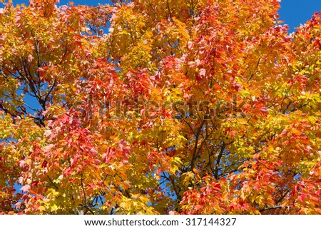 Maple Trees in the fall with copy space - stock photo
