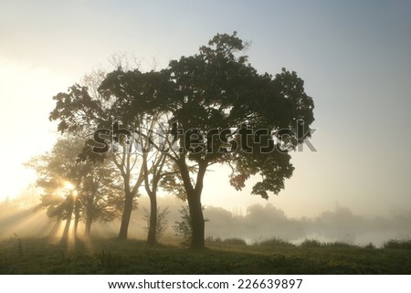 Maple trees on a foggy autumn morning. - stock photo