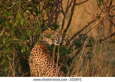 mara cheetahs 14,04 - stock photo