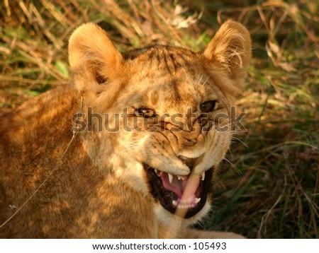 Mara lions 4,04 - stock photo