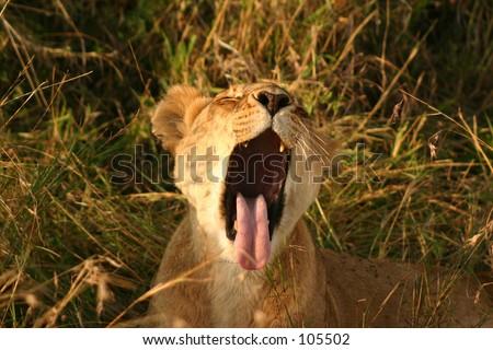 Mara lions 13,04 - stock photo