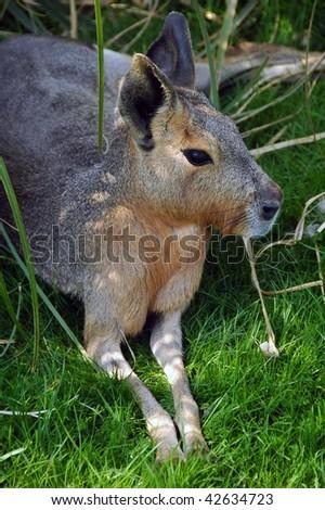 Mara lying on grass - stock photo