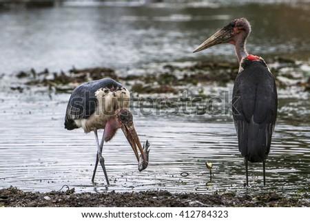 Marabou stork in Kruger national park, South Africa ; Specie Leptoptilos crumenifer family of Ciconiidae - stock photo