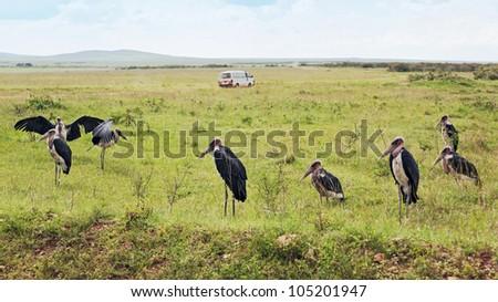 Marabou Stork on the Masai Mara National Reserve - Kenya, Africa - stock photo