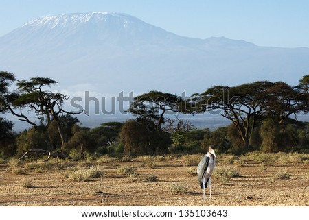 Marabou Stork standing on top of Mount Kilimanjaro background - stock photo