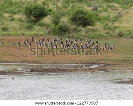 Marabou Storks. - stock photo