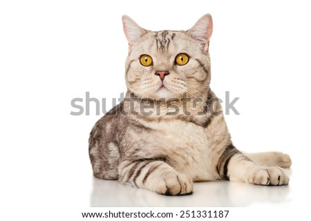 Marble british cat, isolated on white - stock photo
