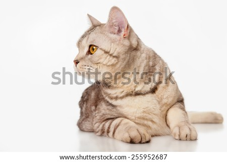 Marble british cat, , on a gray background - stock photo
