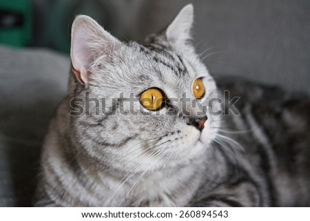 Marble british cat with wide opened eyes - stock photo