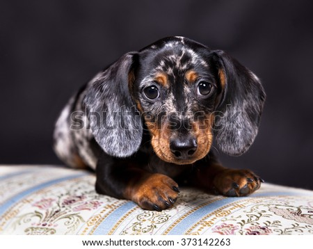 Marble Colored Puppy dachshund - stock photo