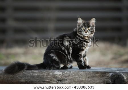 Marble maine coon kitten sitting outdoor - stock photo