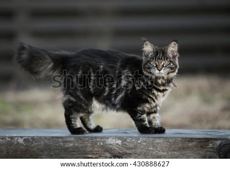 Marble maine coon kitten standing outdoor  - stock photo
