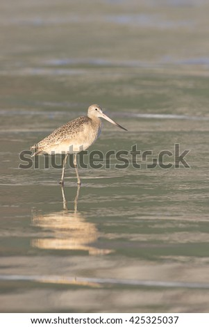 Marbled Godwit in surf on beach at Morro Bay California - stock photo