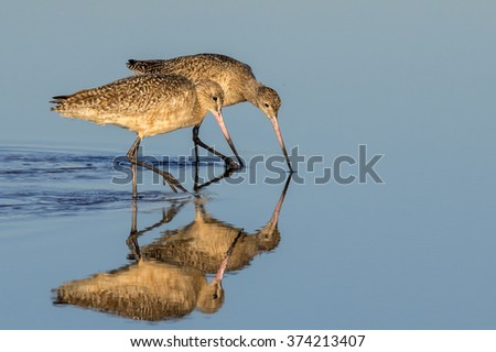 Marbled godwits (Limosa fedoa) feeding in shallow water near the ocean coast, Galveston, Texas, USA. - stock photo