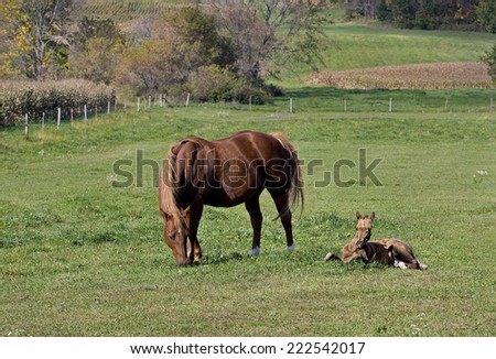 Mare and colt resting and grazing in a sunny pasture. - stock photo